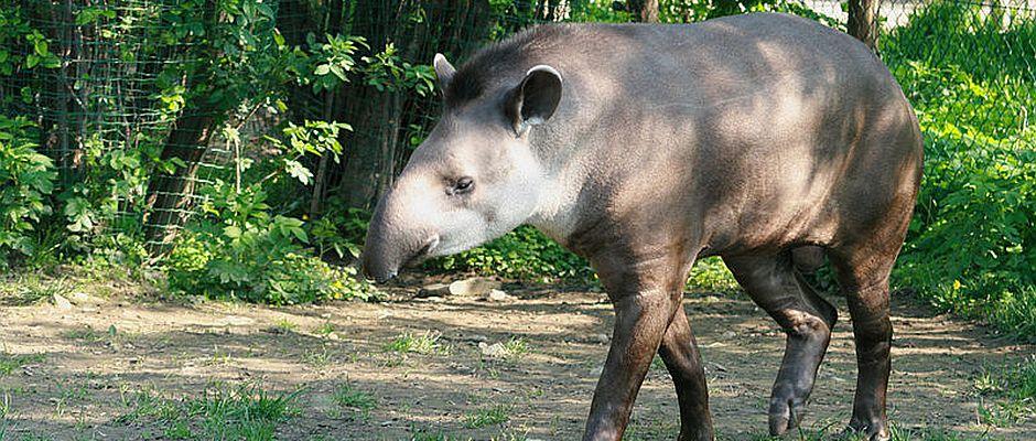 Versteht die Welt nicht mehr: Tapir Ratze kurz nach Bekanntmachung der Wahlergebnisse. Er und seine drei Brüder wurden soeben zum hässlichsten Tier im Regensburger Zoo gewählt.