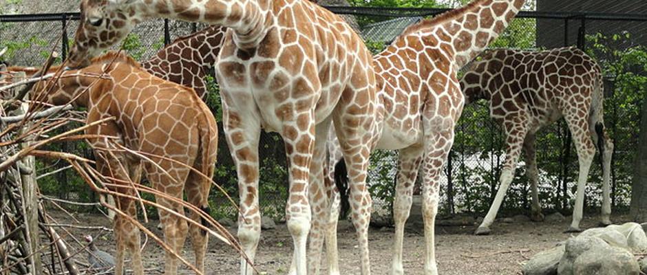 Die Giraffen im Kopenhagener Zoo können endlich ihre ersehnte Rache genießen.