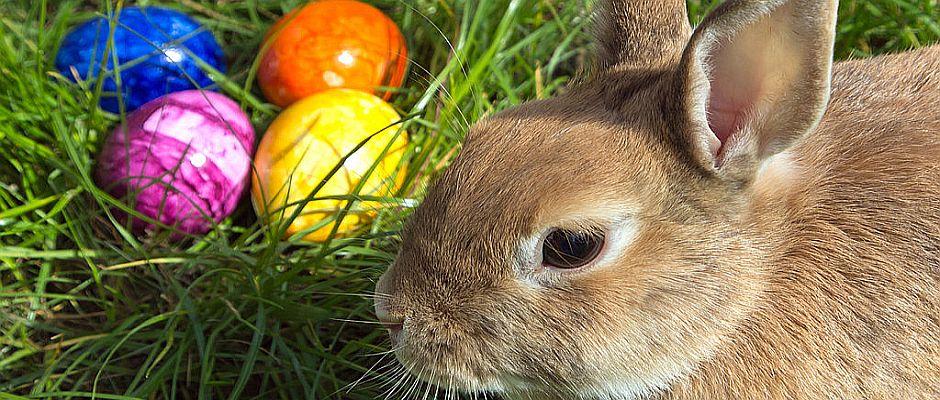 Ein häufiges Bild während der Studie: Der Hase würdigt den Eiern keines Blickes und starrt desinteressiert dran vorbei.