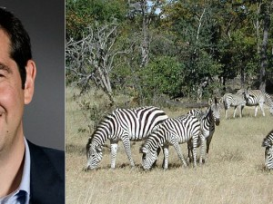 Tsipras (links), Zebras (rechts)