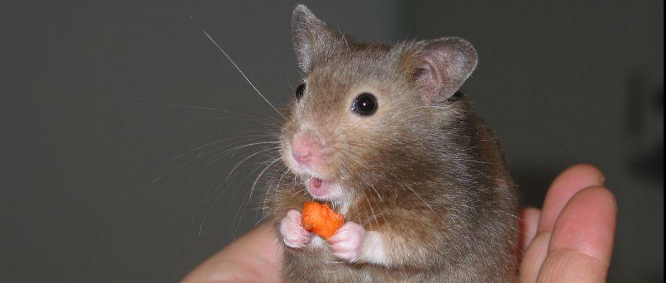 Ein Hamster. Putzig!