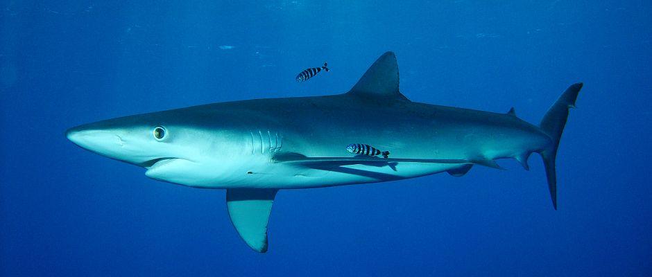 Ein Blauhai wie dieser sorgte am Wochenende für Angst und Panik an Mallorcas Stränden.